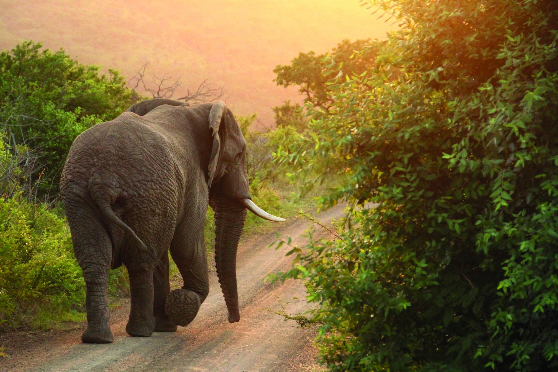 Elefant som går på väg med värdighet