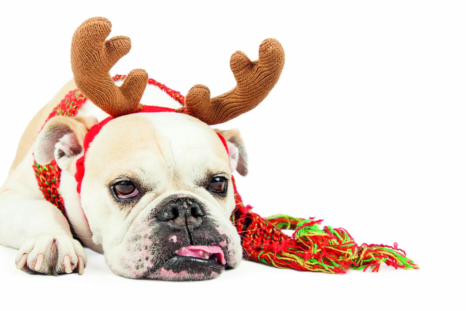 Trött bulldog med en tiara formad som ett renhorn