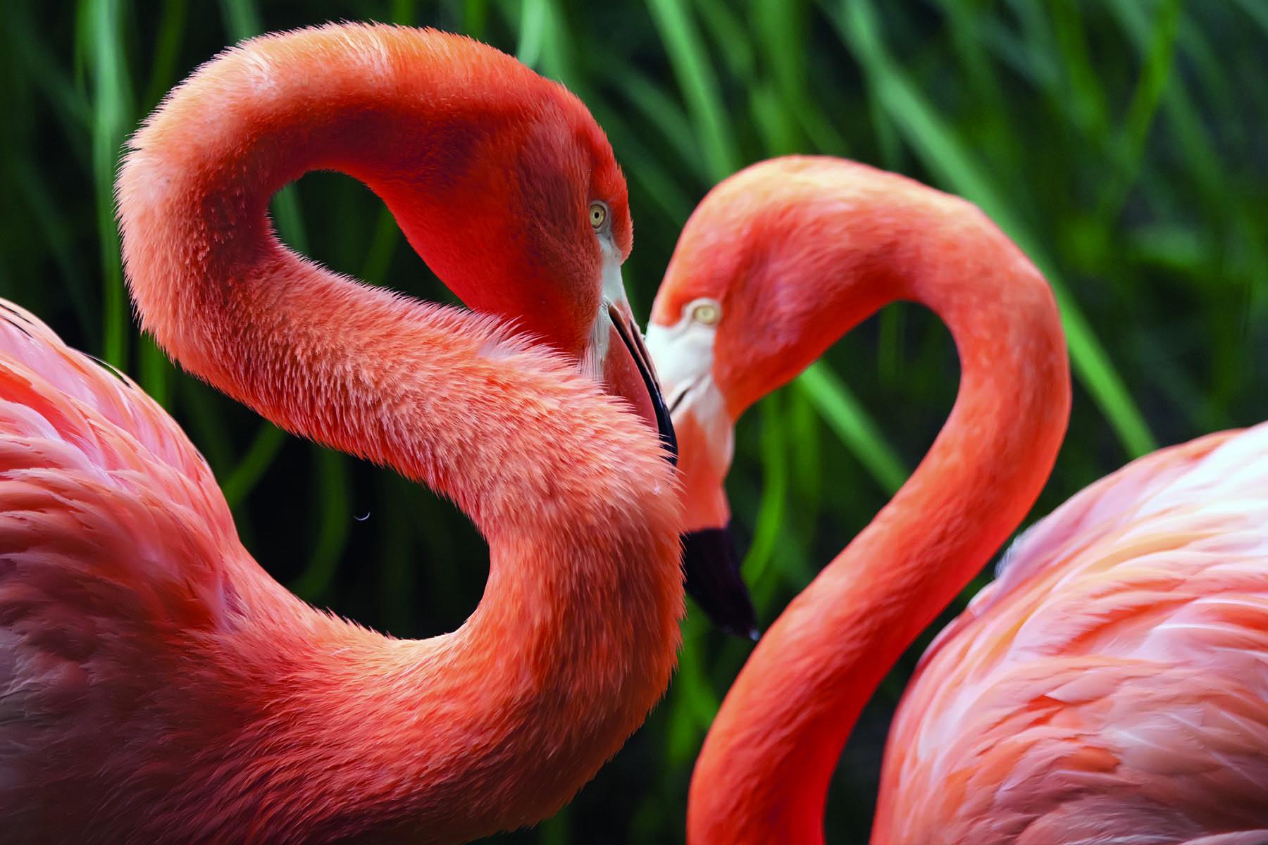 Två flamingos bildar hjärtform