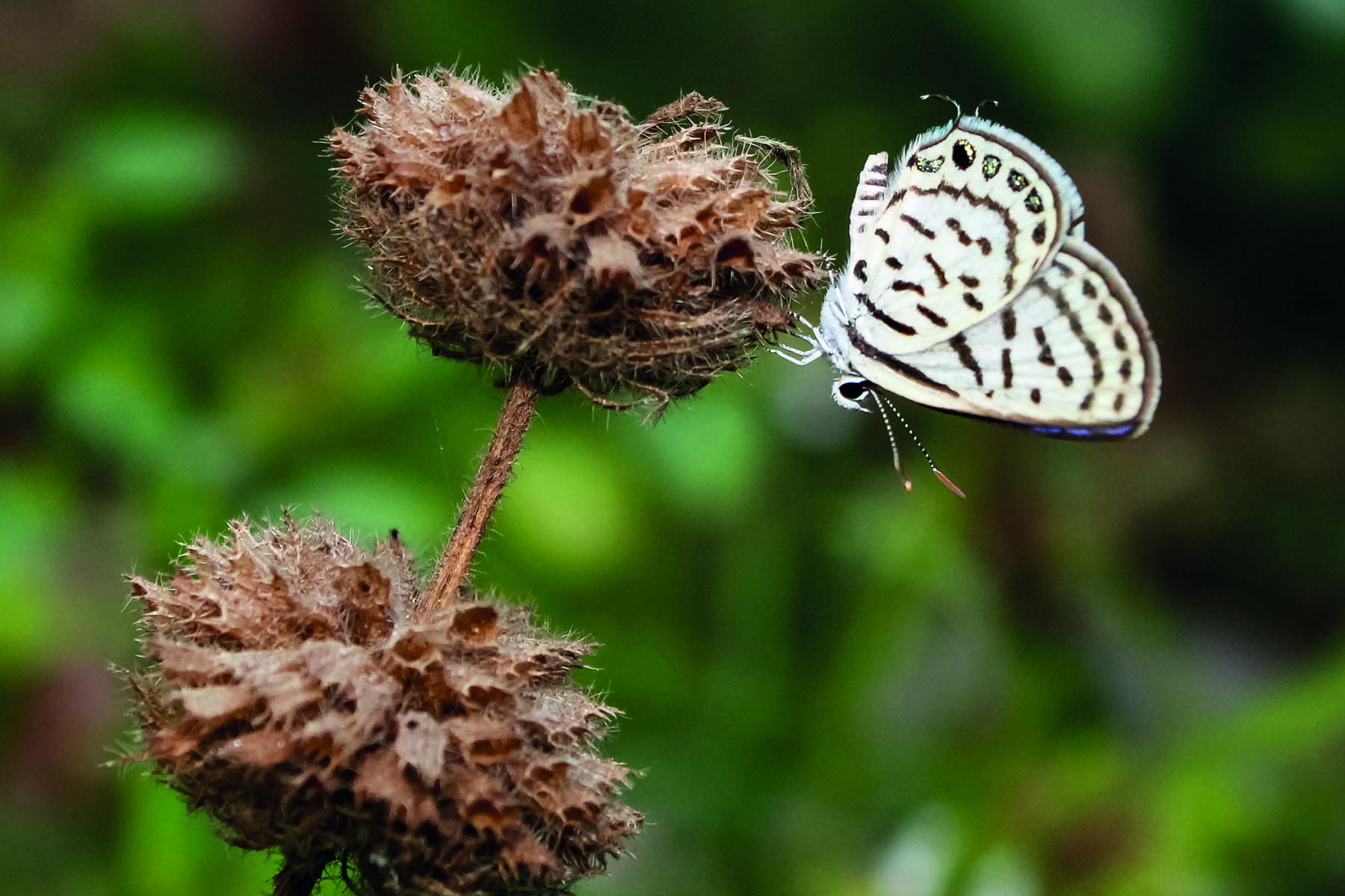 En fjäril som sitter på en torkad blomma