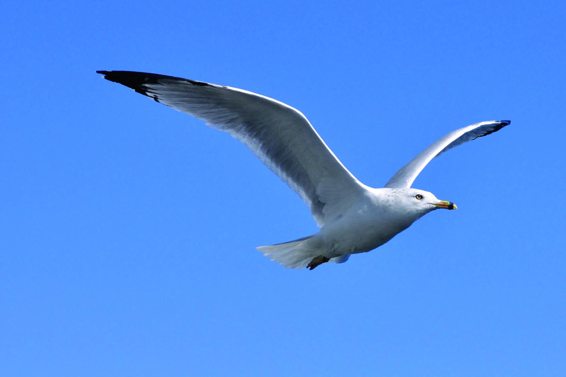 En mås som flyger
