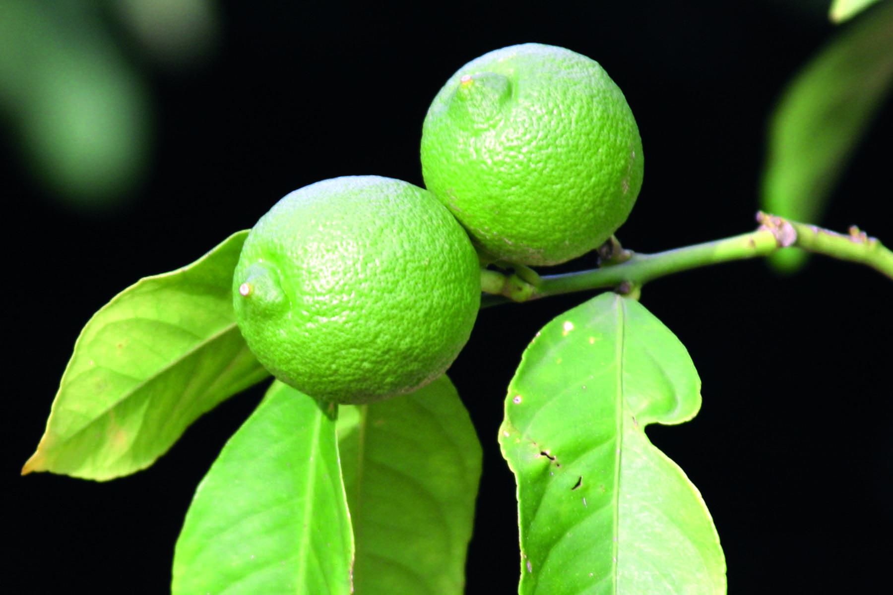 Två limefrukter på en gren