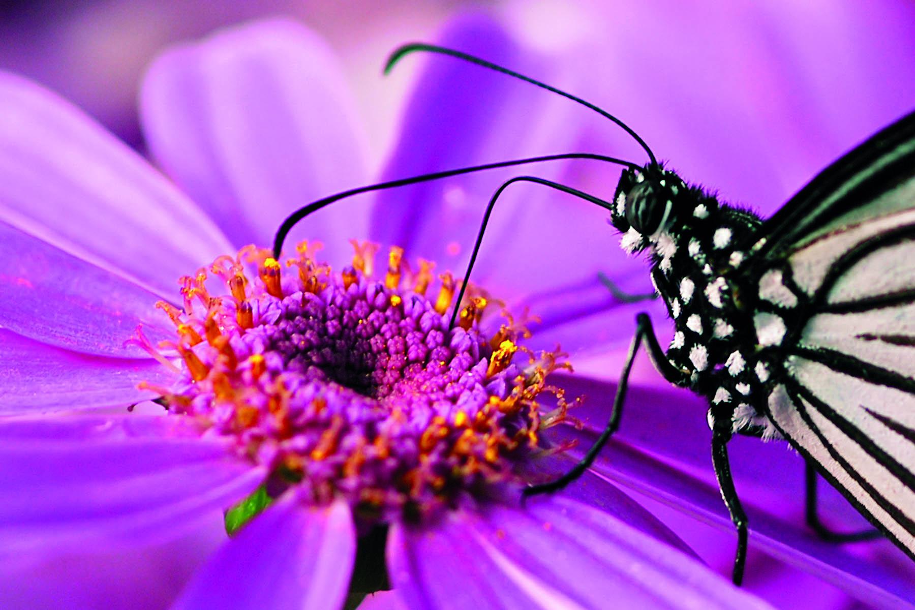 En fjäril som suger nektar