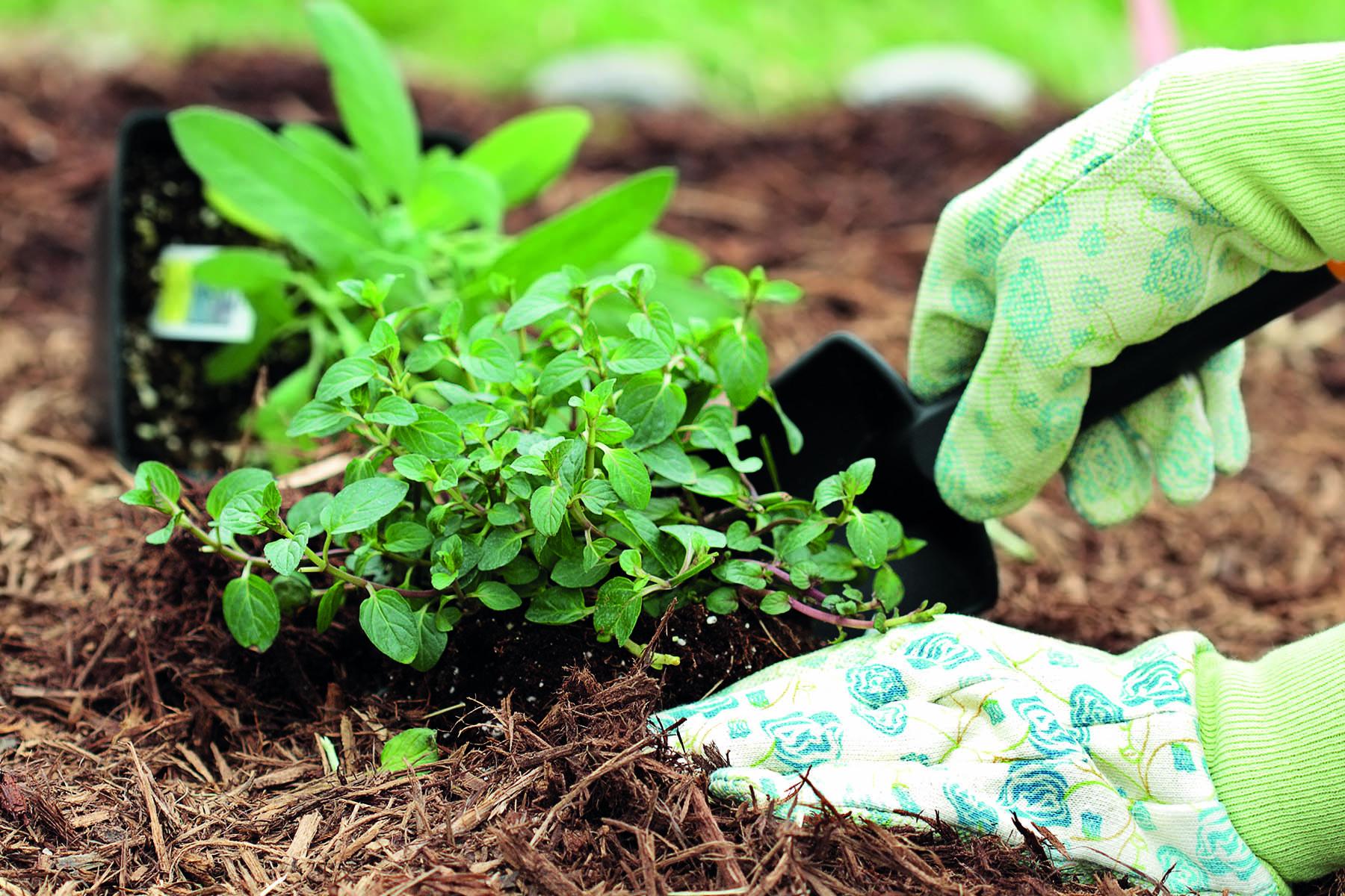 En handskbeklädd hand planterar en planta