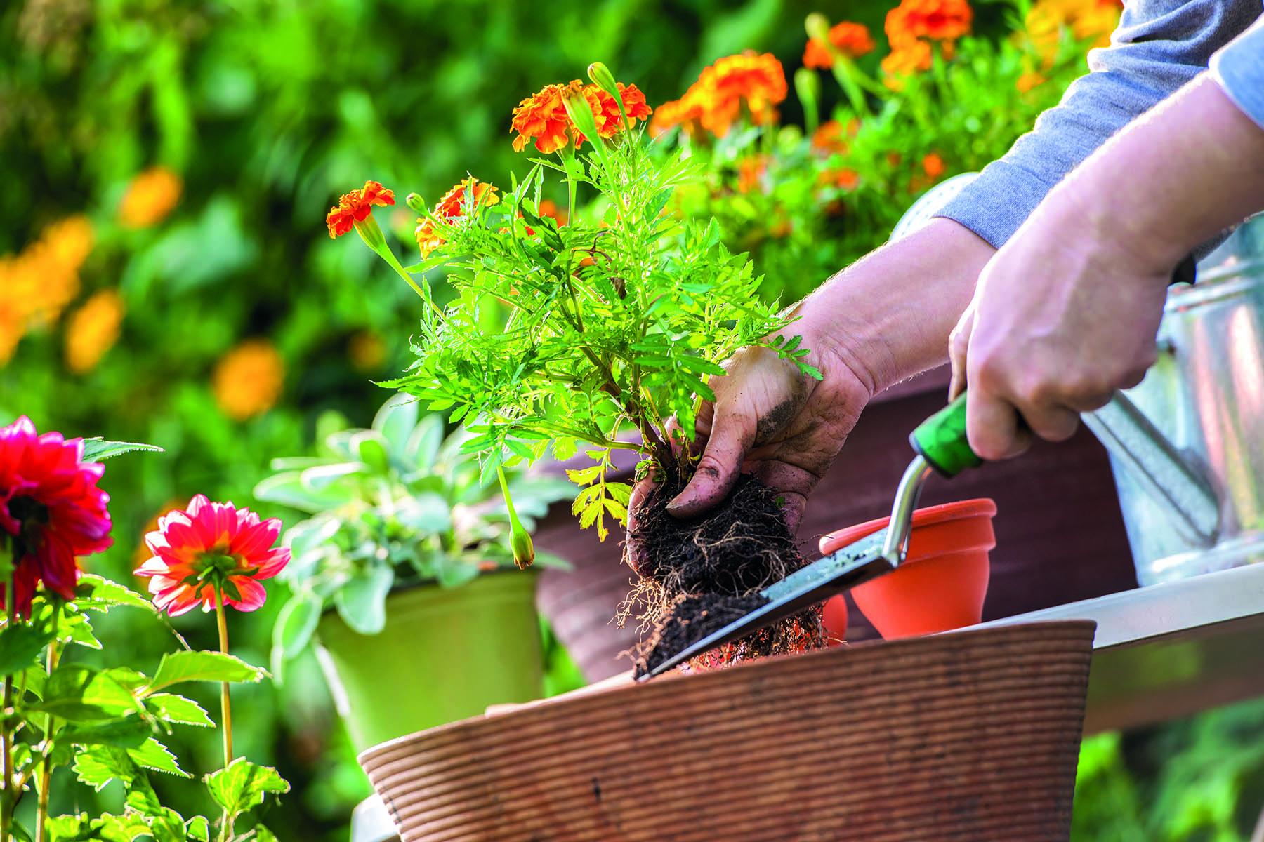 En hand tar en blommande plantad med en planteringsspade