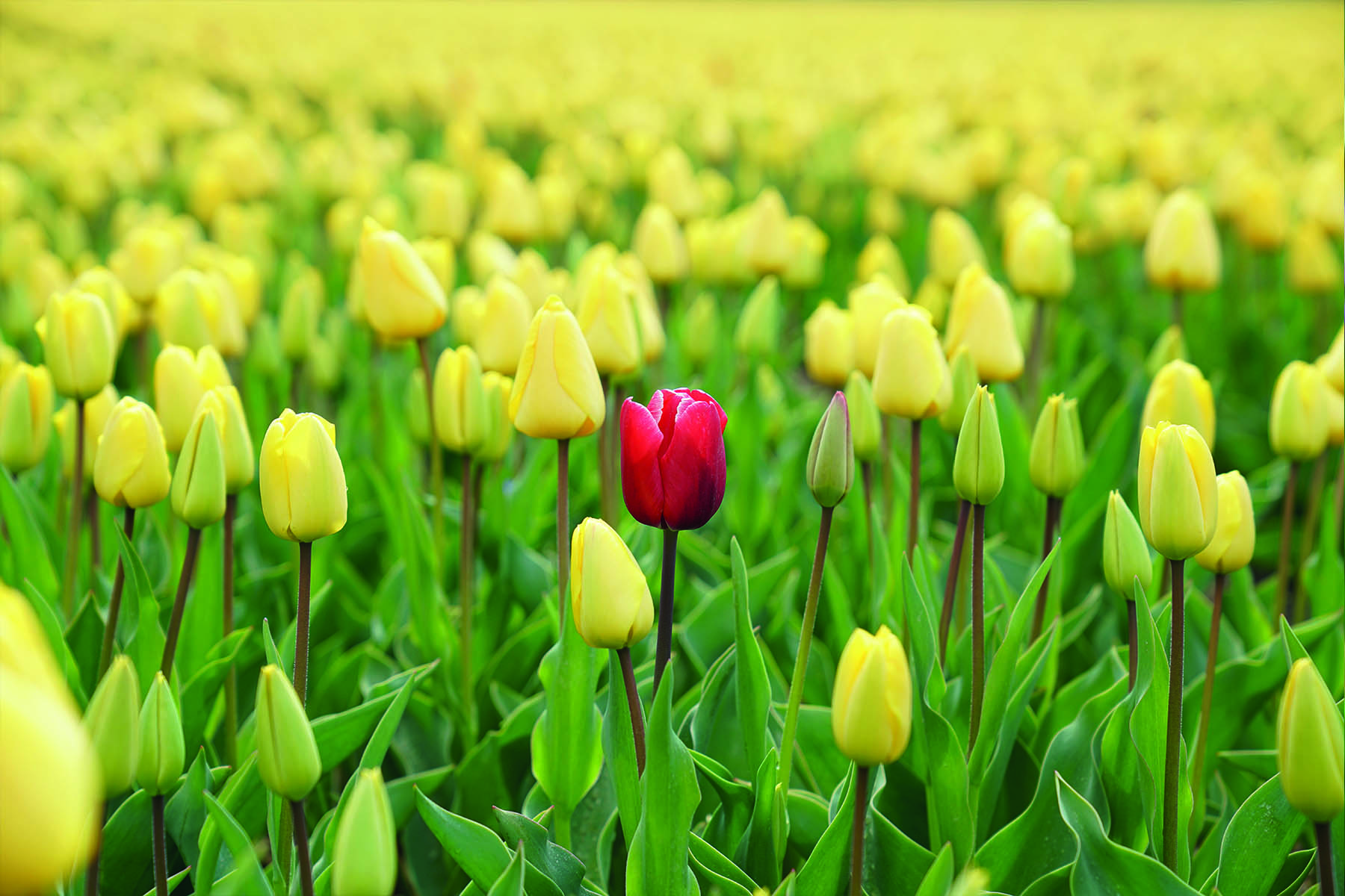 En röd tuplan i ett hav av gula tulpaner