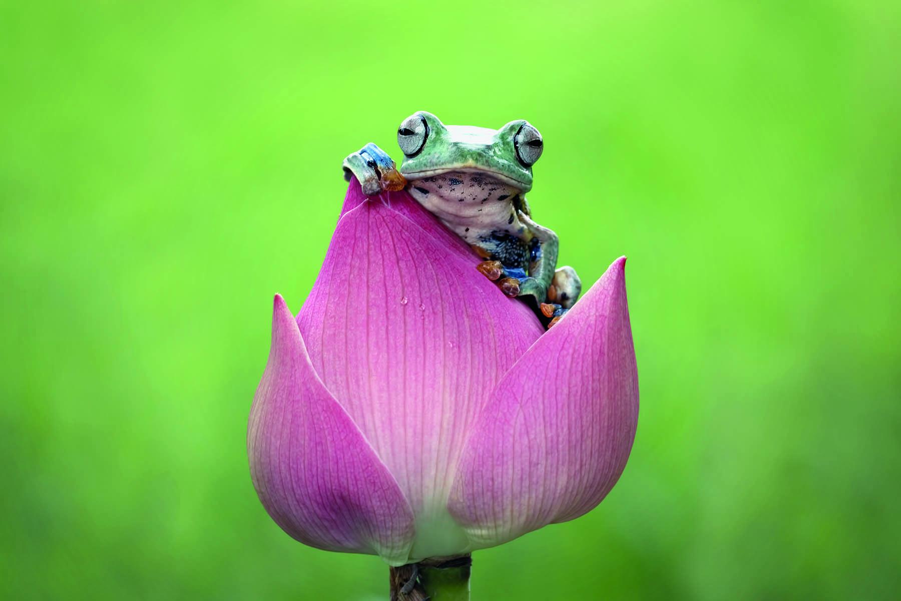 En groda på en lotusblomma