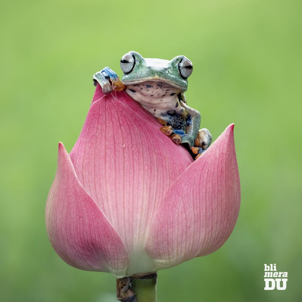 Groda som sitter på en lotusknopp.