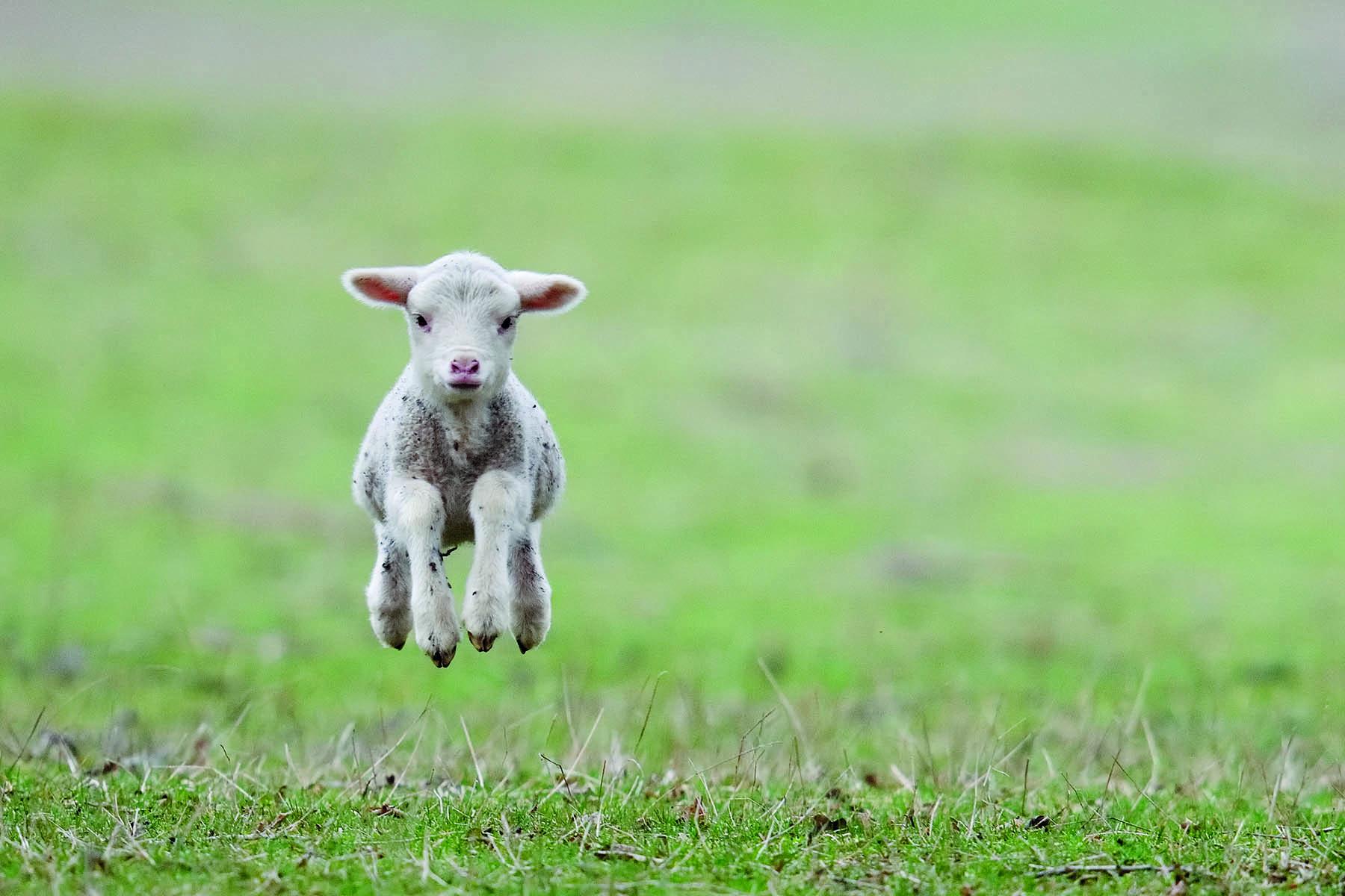 Ett lamm som hoppar