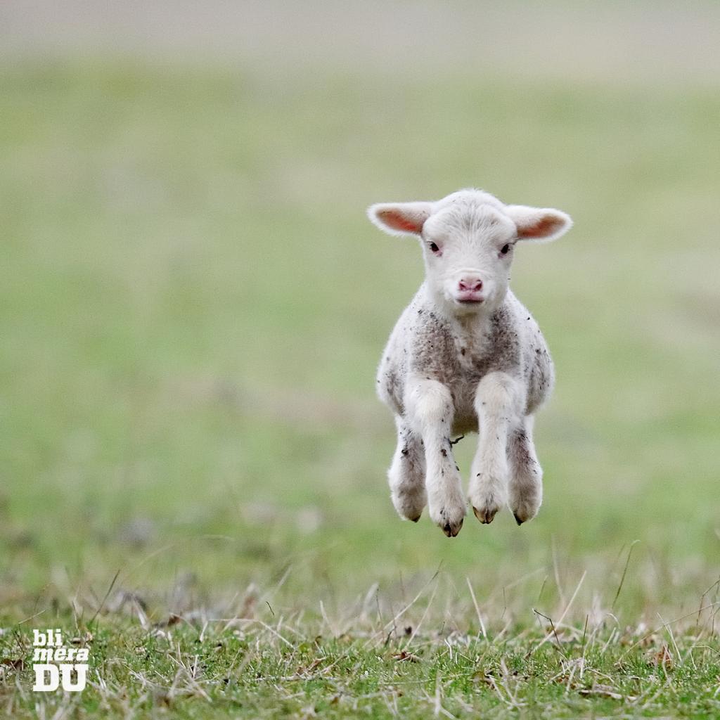 Lammunge som hoppar på en äng
