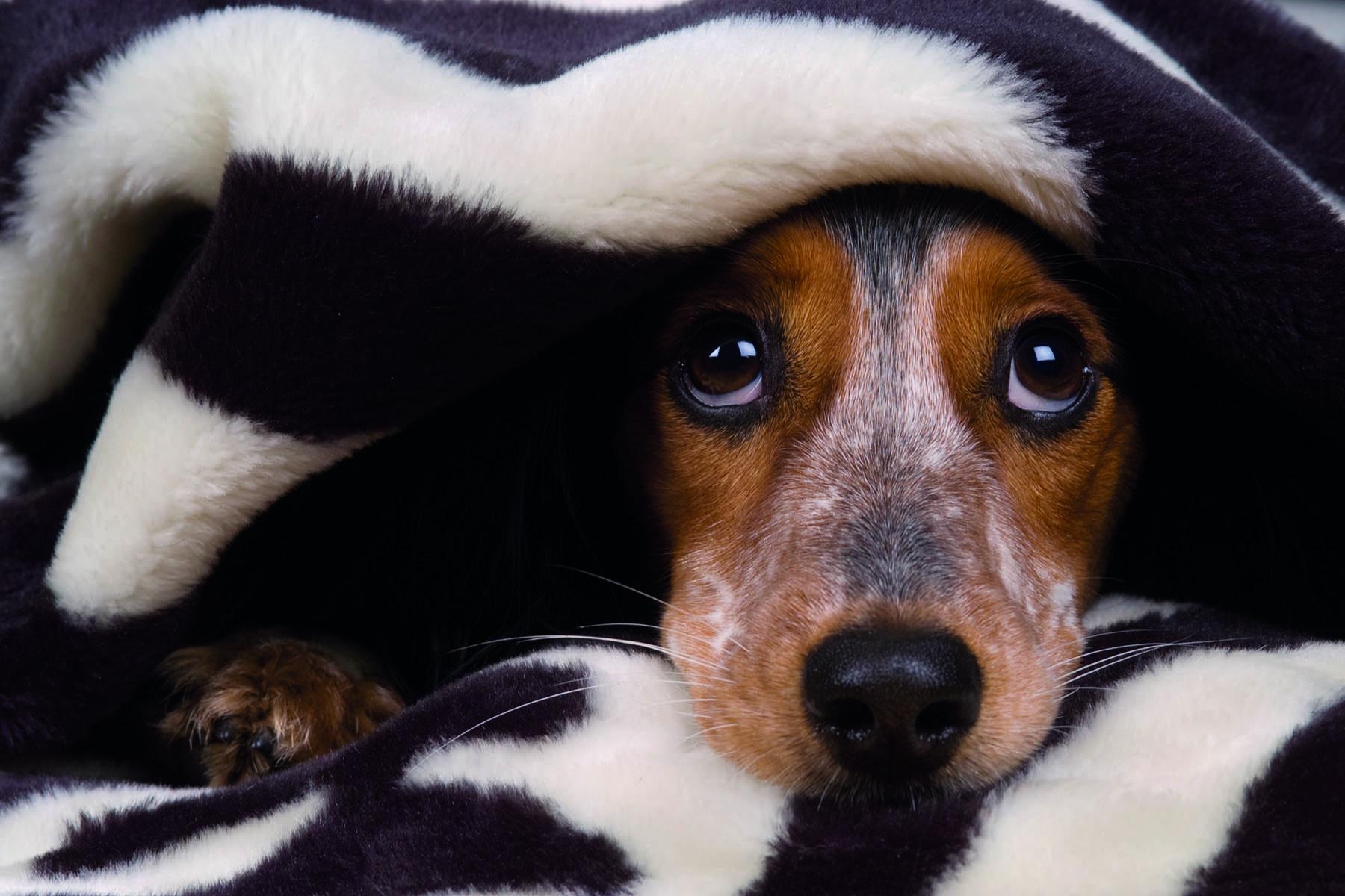 En rädd hundvalp som tittar fram under en filt